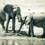Two elephants in Samburu National Reserve