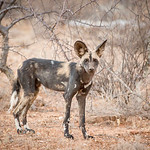 AAfrican Wild Dog in Samburu